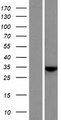 C7orf57 Protein - Western validation with an anti-DDK antibody * L: Control HEK293 lysate R: Over-expression lysate