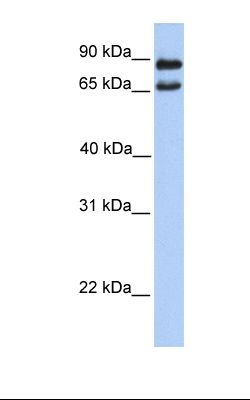 721_B cell lysate. Antibody concentration: 1.0 ug/ml. Gel concentration: 12%.  This image was taken for the unconjugated form of this product. Other forms have not been tested.