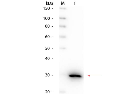 CA2 / Carbonic Anhydrase II Antibody - Western Blot of rabbit anti-Carbonic Anhydrase II Antibody Peroxidase Conjugated. Lane 1: Carbonic Anhydrase II. Load: 50 ng per lane. Primary antibody: Rabbit anti-Carbonic Anhydrase II Antibody Peroxidase Conjugated at 1:1,000 overnight at 4°C. Secondary antibody: n/a. Block: MB-070 for 30 minutes at RT. Predicted/Observed size: 29 kDa, 29 kDa for Carbonic Anhydrase II.