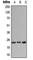 CACNG1 / CACNG Antibody - Western blot analysis of CACNG1 expression in HeLa (A); SP2/0 (B); H9C2 (C) whole cell lysates.