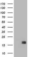 CALCA Antibody - HEK293T cells were transfected with the pCMV6-ENTRY control (Left lane) or pCMV6-ENTRY CALCA (Right lane) cDNA for 48 hrs and lysed. Equivalent amounts of cell lysates (5 ug per lane) were separated by SDS-PAGE and immunoblotted with anti-CALCA.