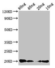 CALCA Antibody - Western Blot Positive WB detected in Recombinant protein All lanes: CALCA antibody at 3µg/ml Secondary Goat polyclonal to rabbit IgG at 1/50000 dilution Predicted band size: 20 kDa Observed band size: 20 kDa