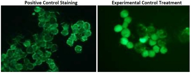 Calcium Staining in Jurkat and HeLa cells. 1x106 Jurkat or 1x105 HeLa cells were treated with vehicle or Positive Control reagent for 30 minutes. Followed by washes, cells were incubated in 250 µl of medium + 0.5% FBS with 1X Intracellular Calcium Staining for 45 minutes at 37°C, according to kit's protocol. Fluorescence microscope images of Positive Control Staining (basal calcium staining; left panel) and Cells treated with Experimental Control reagent (middle panel). Increased fluorescence induced by Positive Control reagent compared to the Basal Calcium levels confirms intracellular accumulation of Calcium in the cells.