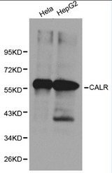 Western blot of CALR pAb in extracts from Hela and HepG2 cells.