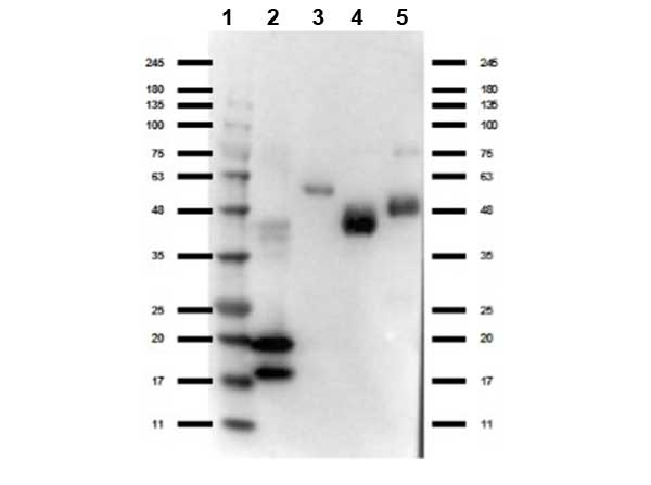 Camelid VhH Ig Antibody - Western Blot of rabbit anti-VHH antibody. Lane 1: Ladder (Opal Prestained). Lane 2: VHH protein. Lane 3: Llama IgG1 protein. Lane 4: Llama IgG2 protein. Lane 5: Llama IgG3 protein. Load: 50 ng per lane. Primary antibody: VHH antibody at 1:1000 for overnight at 4°C. Secondary antibody: Gt-a-Rb HRP rabbit secondary antibody at 1:70,000 for 30 min at RT. Block: MB-070 for 30 min at RT. Predicted/Observed size: expect 15 and 18 kda band in VHH protein and reactivity with Llama IgG isotypes.