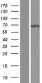 CAMKK2 Protein - Western validation with an anti-DDK antibody * L: Control HEK293 lysate R: Over-expression lysate