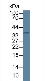 Western Blot; Sample: Human HepG2 cell lysate; Primary Ab: 1µg/ml Rabbit Anti-Human CAMLG Antibody Second Ab: 0.2µg/mL HRP-Linked Caprine Anti-Rabbit IgG Polyclonal Antibody