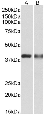 CAPG antibody (0.3 ug/ml) staining of U937 (A) and Human Spleen (B) lysates (35 ug protein in RIPA buffer). Primary incubation was 1 hour. Detected by chemiluminescence.