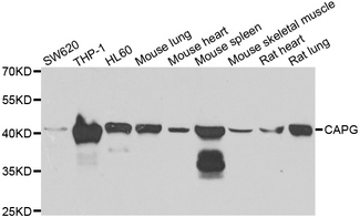 CAPG Antibody - Western blot analysis of extracts of various cell lines.