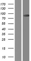 CAPN9 / Calpain 9 Protein - Western validation with an anti-DDK antibody * L: Control HEK293 lysate R: Over-expression lysate
