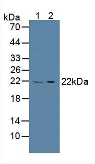 Western Blot; Sample: Lane1: Porcine Spleen Tissue; Lane2: Human 293T Cells.