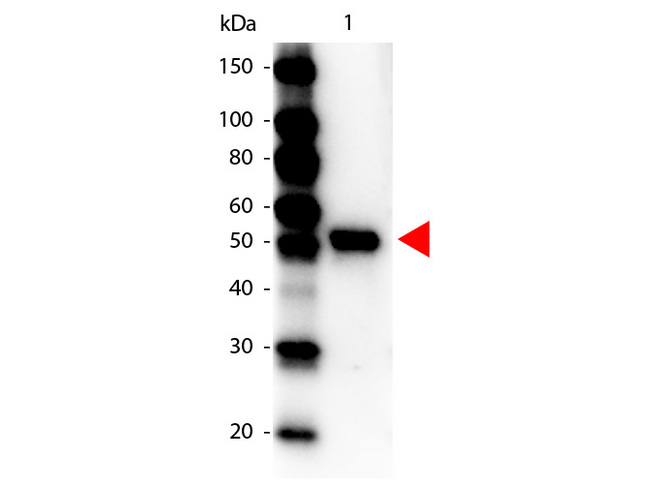 Carboxypeptidase Y Antibody - Western Blot of Peroxidase conjugated Rabbit anti-Carboxypeptidase Y Antibody. Lane 1: Carboxypeptidase Y. Lane 2: none. Load: 100 ng per lane. Primary antibody: none. Secondary antibody: Peroxidase rabbit Carboxypeptidase Y antibody at 1:1,000 for 60 min at RT Block: MB-070 for 30 min at RT. Predicted/Observed size: 53 kDa for Carboxypeptidase Y. Other band(s): none.