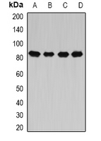 Western blot analysis of CARS expression in HeLa (A); MCF7 (B); mouse liver (C); rat spinal cord (D) whole cell lysates.