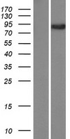 CASC1 Protein - Western validation with an anti-DDK antibody * L: Control HEK293 lysate R: Over-expression lysate