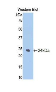 Western blot of recombinant CASP1 / Caspase 1.  This image was taken for the unconjugated form of this product. Other forms have not been tested.