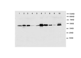 WB of CASP1 / Caspase 1 antibody. Lane 1: NIH Cell Lysate. Lane 2: MCF-7 Cell Lysate. Lane 3: HELA Cell Lysate. Lane 4: SMMC Cell Lysate. Lane 5: HT1080 Cell Lysate. Lane 6: SW620 Cell Lysate. Lane 7: JURKAT Cell Lysate. Lane 8: RAJI Cell Lysate. Lane 9: CEM Cell Lysate. Lane 10: PC-12 Cell Lysate.