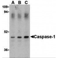 Western blot analysis of Caspase-1 in HeLa cell lysate with Caspase-1 antibody (IN) at (A) 0.5, (B) 1, and (C) 2 µg/mL.