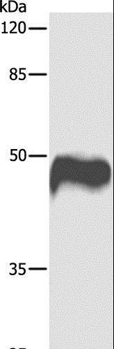 Western blot analysis of HeLa cell, using CASP1 Polyclonal Antibody at dilution of 1:1000.