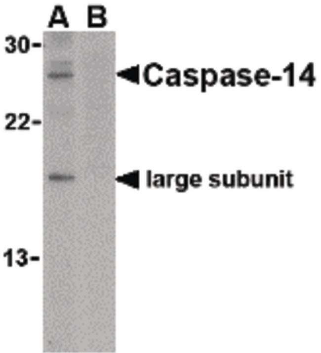 Western blot of caspase-14 in Jurkat cell lysate in the (A) absence or (B) presence of blocking peptide with caspase-14 antibody at 1 ug/ml.