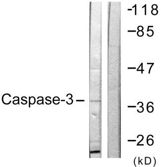 Western blot analysis of lysates from NIH/3T3 cells, treated with Etoposide 25uM 24h, using Caspase 3 Antibody. The lane on the right is blocked with the synthesized peptide.