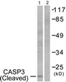 Western blot of extracts from 293 cells, treated with Etoposide 25 uM 60', using Caspase 3 (Cleaved-Asp175) Antibody. The lane on the right is treated with the synthesized peptide.