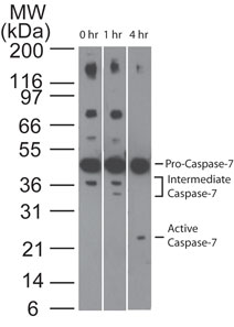 Western blot analysis of Caspase-7 in Jurkat cells using Caspase-7 antibody at 1 ug/ml. Cells were treated with 2 uM staurosporine for different time periods. Caspase-7 activation is detected in western blots by the presence of Caspase-7 cleavage fragments. The antibody detected both pro (full-length) and active (cleaved) Caspase-7, depending on the treatment time points. A basal level of endogenous intermediate Caspase-7 can be see in untreated Jurkat cells.