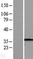 CASP7 / Caspase 7 Protein - Western validation with an anti-DDK antibody * L: Control HEK293 lysate R: Over-expression lysate