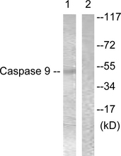 Western blot analysis of lysates from 293 cells, treated with Calyculin 50nM 30', using Caspase 9 Antibody. The lane on the right is blocked with the synthesized peptide.