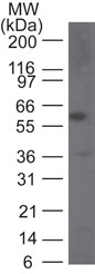 CASP9 / Caspase 9 Antibody - Western blot of Caspase-9 in human HeLa cell lysate using Caspase-9 antibody at 1:1000.