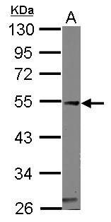 Sample (50 ug of whole cell lysate) A: mouse heart 10% SDS PAGE CASQ1 antibody diluted at 1:1000