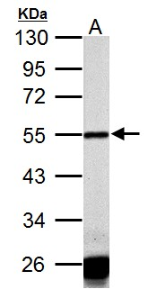 Sample (50 ug of whole cell lysate) A: Rat heart 10% SDS PAGE CASQ1 antibody diluted at 1:1000
