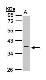 Sample (30 ug whole cell lysate). A: H1299. 10% SDS PAGE. Calsequestrin 2 antibody diluted at 1:1000