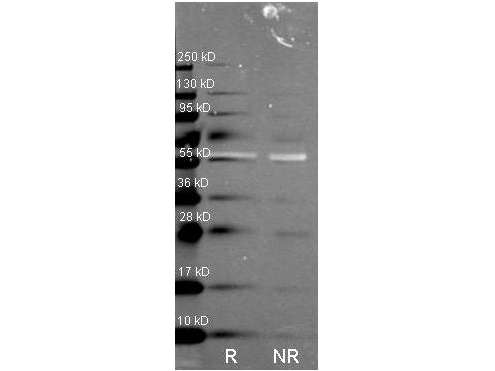 CAT / Catalase Antibody - Western Blot of rabbit Anti-Catalase antibody. Lane R: Reduced samples of purified Catalase. Lane NR: Non-reduced samples of purified Catalase. Load: ~1ug of protein per lane. Primary antibody: Catalase antibody at 1:1000 for overnight at 4°C. Secondary antibody: DyLight 488 rabbit secondary antibody at 1:10,000 for 1.5 hrs at RT. Block: MB-070 overnight at 4°C. Predicted/Observed size: 59.9 kDa, 55 kDa for catalase. Other band(s): none.