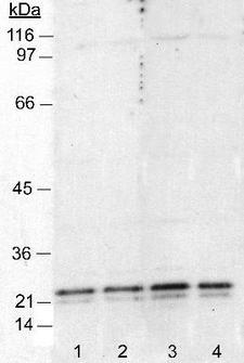 CAV1 / Caveolin 1 Antibody - Detection of caveolin in 3T3 cell lysates (50 ug) Caveolin 1  [7C8 ] antibody - Caveolae Marker. Lanes 1 and 2: 1:4,000. Lanes 3 and 4: 1:1,000. ECL: 5 minute exposure.  This image was taken for the unconjugated form of this product. Other forms have not been tested.