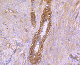 Immunohistochemistry of paraffin-embedded human uterus using CAV2 antibodyat dilution of 1:100 (40x lens).