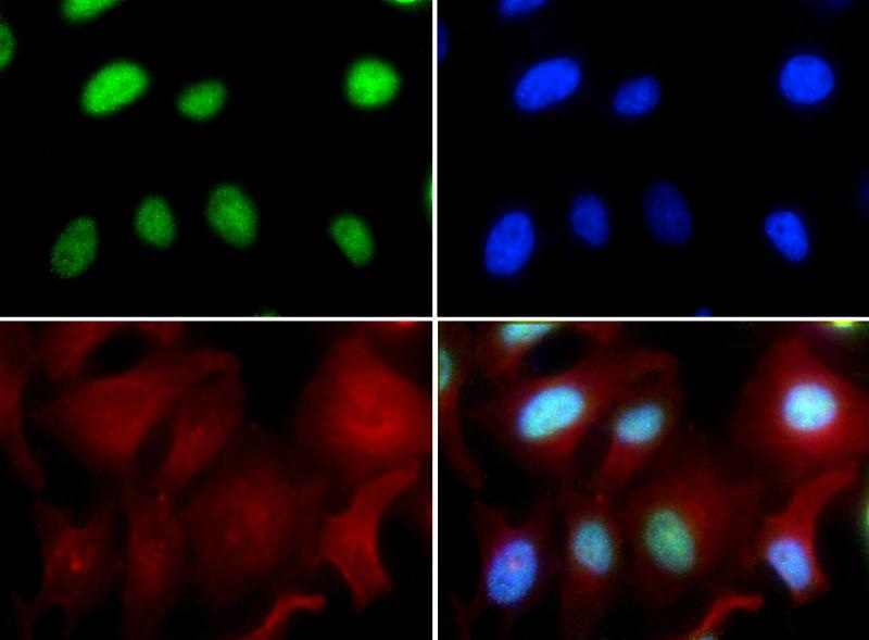 Immunocytochemistry/Immunofluorescence: RUNX2 Antibody - RUNX2 antibody was tested in HeLa cells with FITC (green). Nuclei and alpha-tubulin were counterstained with Dapi (blue) and Dylight 594 (red).  This image was taken for the unconjugated form of this product. Other forms have not been tested.