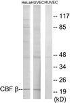 Western blot of extracts from HUVEC/HeLa cells, using CBF beta Antibody. The lane on the right is treated with the synthesized peptide.