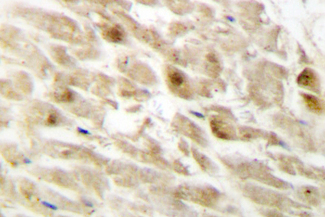 IHC of PEBP2 (R33) pAb in paraffin-embedded human heart tissue.