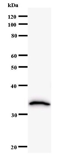 Western blot of immunized recombinant protein using CBFB antibody.