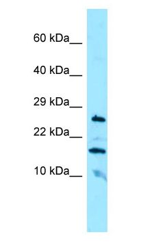 CBLN3 / Cerebellin 3 antibody Western Blot of HepG2.  This image was taken for the unconjugated form of this product. Other forms have not been tested.