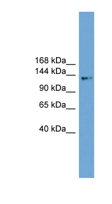 CCDC146 antibody LS-C116680 Western blot of 721_B cell lysate.  This image was taken for the unconjugated form of this product. Other forms have not been tested.