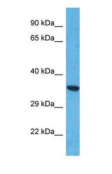 CCDC42B Antibody - Western blot of CCDC42B Antibody with human HepG2 Whole Cell lysate.  This image was taken for the unconjugated form of this product. Other forms have not been tested.