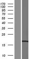 CCDC43 Protein - Western validation with an anti-DDK antibody * L: Control HEK293 lysate R: Over-expression lysate