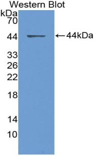 Western blot of recombinant HCC1 / CCL14.