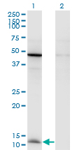 Western Blot analysis of CCL2 expression in transfected 293T cell line by CCL2 monoclonal antibody (M05), clone 1F10.Lane 1: CCL2 transfected lysate (Predicted MW: 11 KDa).Lane 2: Non-transfected lysate.