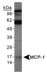 MCP-1 Antibody - Western Blot on TNF alpha treated PC12 lysates.  This image was taken for the unconjugated form of this product. Other forms have not been tested.