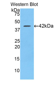 CCL21 / SLC Antibody - Western blot of recombinant CCL21 / Exodus 2 / SLC.  This image was taken for the unconjugated form of this product. Other forms have not been tested.