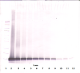 CCL21 / SLC Antibody - Biotinylated Anti-Human Exodus-2 (CCL21) Western Blot Unreduced