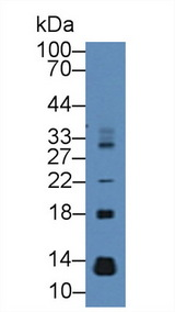 CCL28 / MEC Antibody - Western Blot; Sample: Mouse Pancreas lysate; Primary Ab: 2µg/mL Rabbit Anti-Rat MEC Antibody Second Ab: 0.2µg/mL HRP-Linked Caprine Anti-Rabbit IgG Polyclonal Antibody
