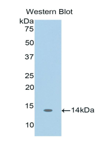 CCL3 / MIP-1-Alpha Antibody - Western blot of recombinant CCL3 / MIP-1-Alpha.  This image was taken for the unconjugated form of this product. Other forms have not been tested.